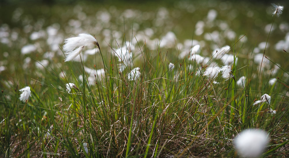 What is Bog Cotton
